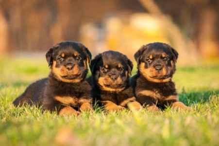 Três filhotes de Rottweiler