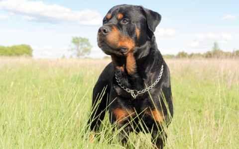 Aparência do Rottweiler