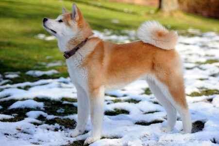 Cão Akita inu na neve