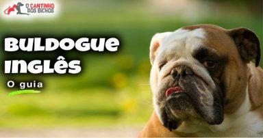 Cachorro Buldogue Inglês em destaque