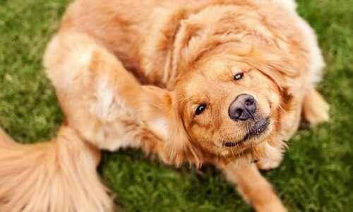 cachorro-cocando