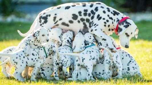 mãe dálmata com seus filhotes