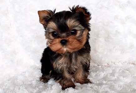 Cachorro Yorkshire Terrier – Guia Definitivo da Raça