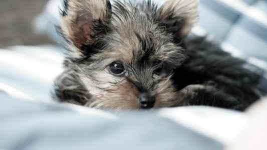 Filhote de Yorkshire Terrier deitado na cama
