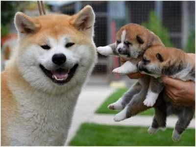 Mãe de Akita com seus filhotes