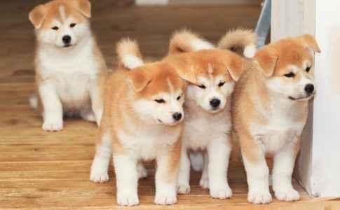 Vários filhotes de Akita Inu
