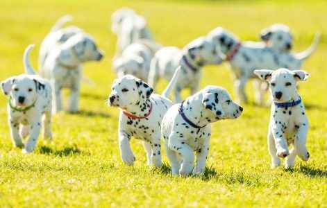 Cachorro Dálmata - Guia Definitivo da Raça