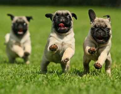 Filhotes de Pug correndo