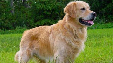Cão Golden Retrivier na grama