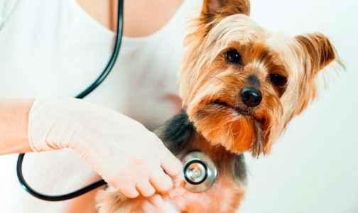 veterinária cuidando de um Yorkshire Terrier