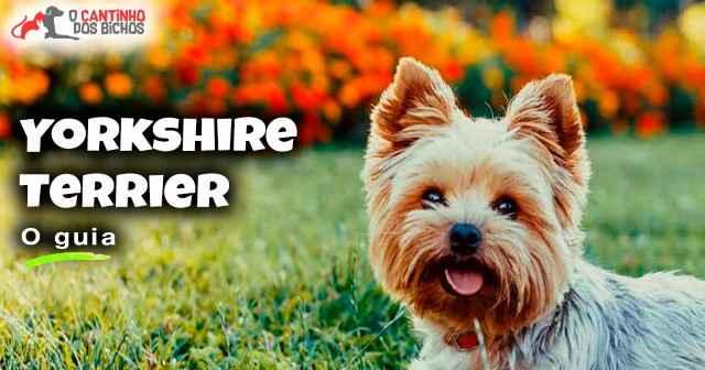 Cachorro Yorkshire Terrier em destaque