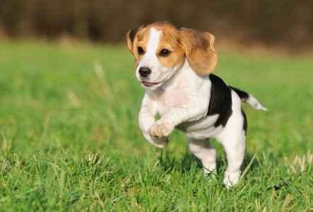 Filhote de Beagle correndo