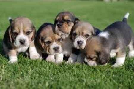 Vários filhotes de Beagle na grama