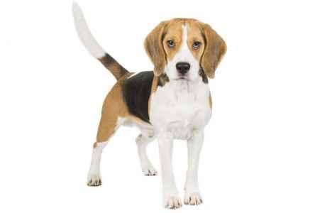 Beagle em fundo branco