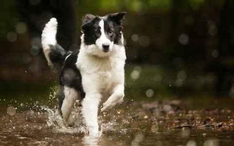 Border Collie correndo na água
