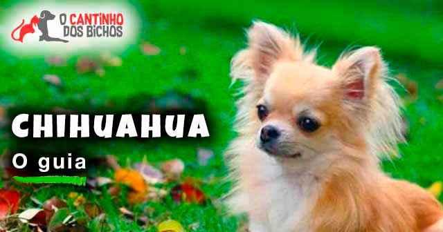 Cachorro Chihuahua O Guia Definitivo 2018 O Cantinho