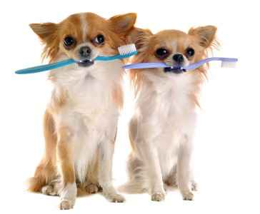 Cuidados com o Chihuahua