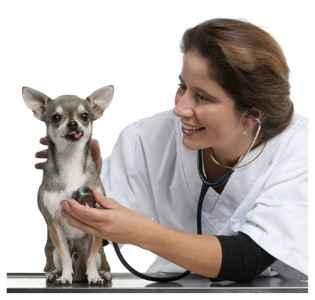 Chihuahua no veterinário