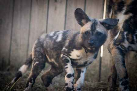 cães pintados africanos