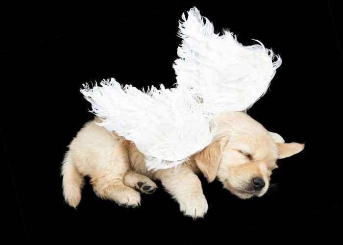 Cachorro com asas