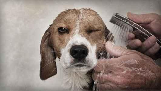 Beagle tomando banho