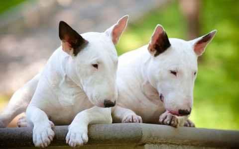 Dois Bull Terriers deitados