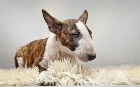 Bull Terrier Tigrado