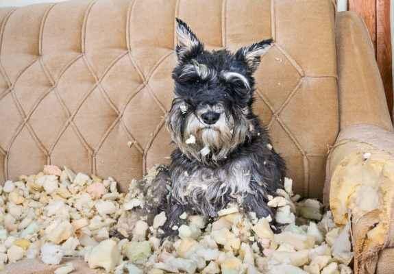cachorro estressado rasgando estofado