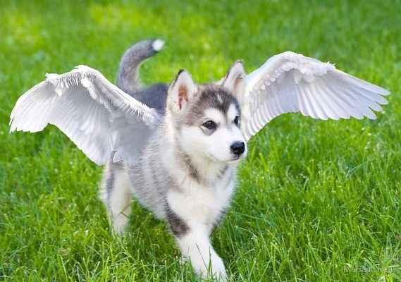 cachorro com asas de anjo