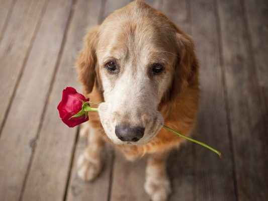 cachorro com flor na boca sinal de amor
