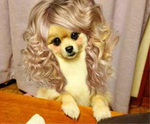 cachorro com peruca humana