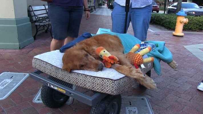 cachorro morrendo deitado com brinquedos