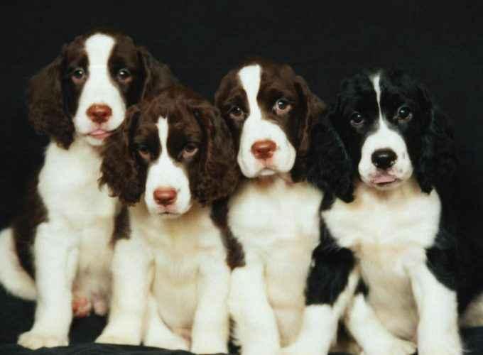 Cachorros de raça pura