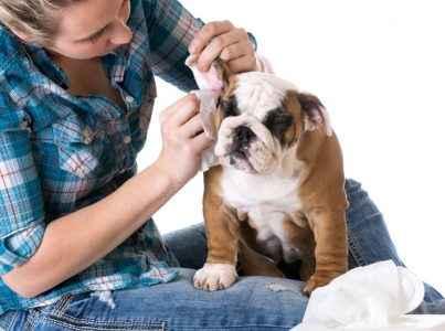 orelha de cão