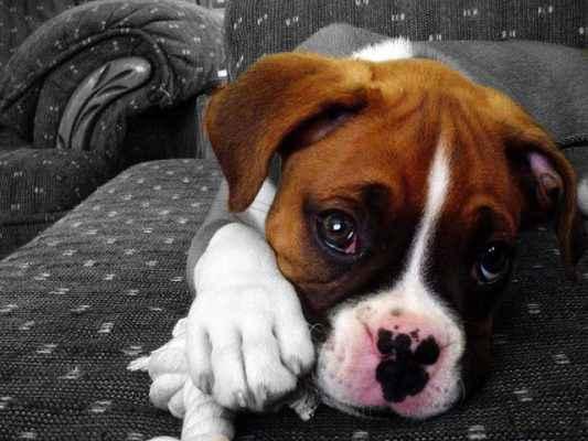 cão deitado com olhar inocente