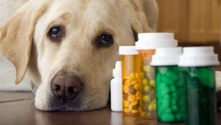 cao labrador ansioso usando remédios