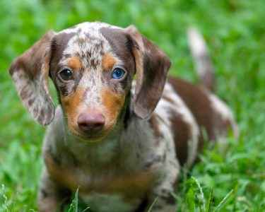 dapper dappled dachshund