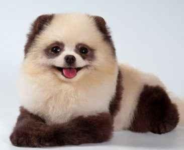 Pelos de cachorros - parece urso panda