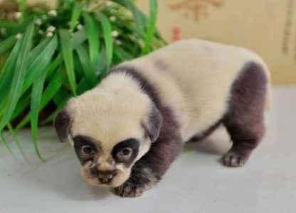 Dog Panda 2