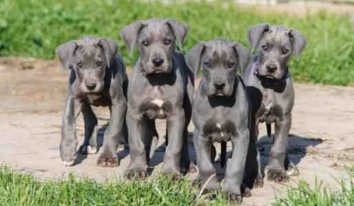 Filhotes de Dogue Alemães