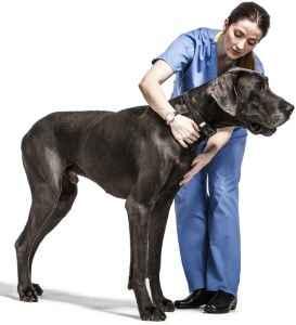 Dogue Alemão no veterinário
