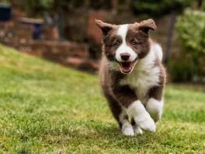Filhote de Border Collie correndo