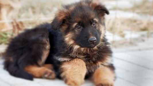 Cachorro Pastor Alemão - Guia Definitivo da Raça