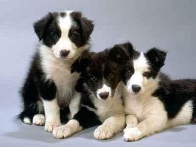 Três filhotes de Border Collies