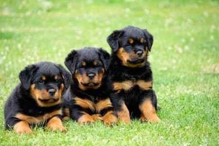 Filhotes de Rottweiler na grama
