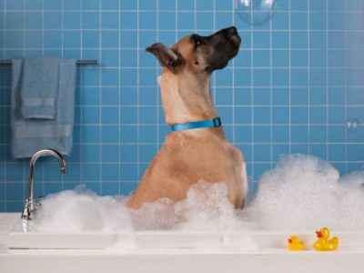 cão na banheira - cachorros de pelo curto
