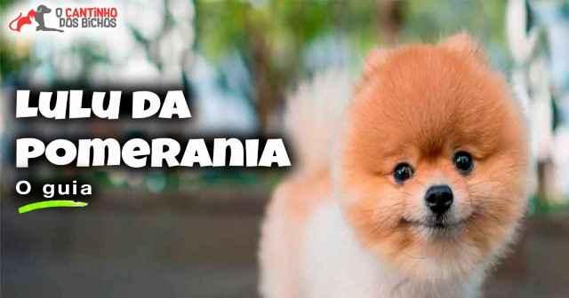 Cachorro Lulu da Pomerânia em destaque