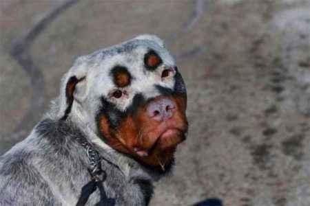 manchas cachorro