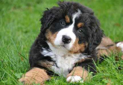 cachorro da montanha de bernese
