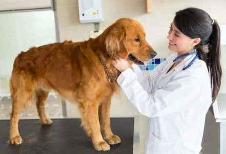 Cuidados com cachorro por veterinário